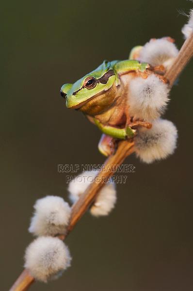 Common Tree Frog, Hyla arborea, adult climbing on pussy willow, National Park Lake Neusiedl, Burgenland, Austria, Europe