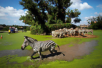 Zebras walk through flooded part of the wildlife park Safari World in Bangkok November 2, 2011. Almost half of the Safari World was flooded overnight but all animals were taken to higher ground. Authorities in the Thai capital repaired a damaged flood gate on Wednesday that has become the focus of anger, fear and rivalry between arms of government battling the country's worst floods in decades.  REUTERS/Damir Sagolj (THAILAND)