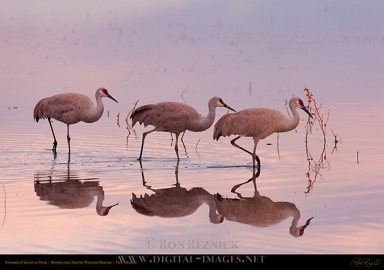 Sandhill Cranes at Dusk, Bosque del Apache Wildlife Refuge, New Mexico