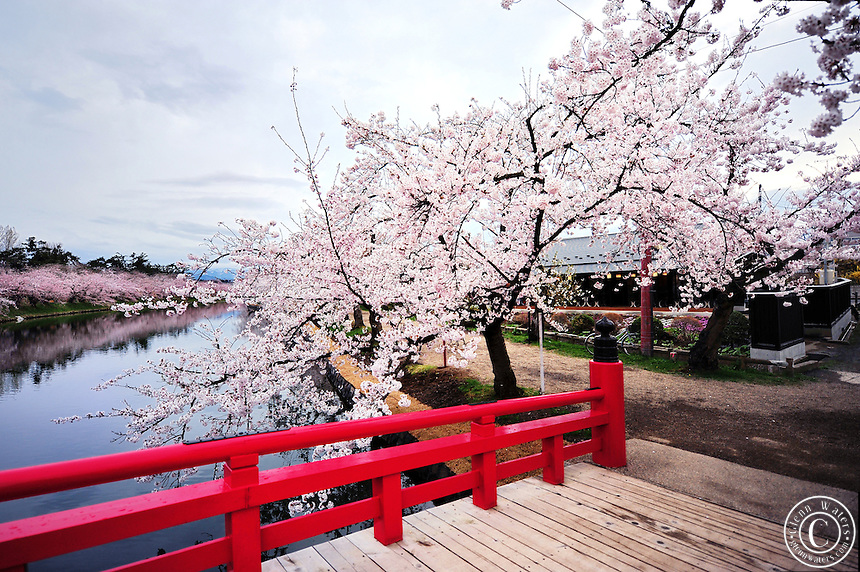 Sakura Park Japan-Cherry-Blossom-Bridge-North
