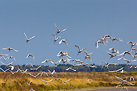 Flight of Spoonbills, Ars en Re,  Ile de Re, France