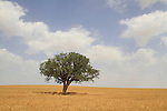 T-160 Sycamore tree in Beit Kama