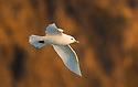 Ivory Gull (Pagophila eburnea) in flight, Spitsbergen, Svalbard