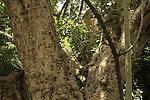 T-162 Sycamore tree in Tel Aviv