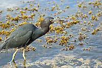 Seabird at Maho Bay, St John.Virgin Islands National Park