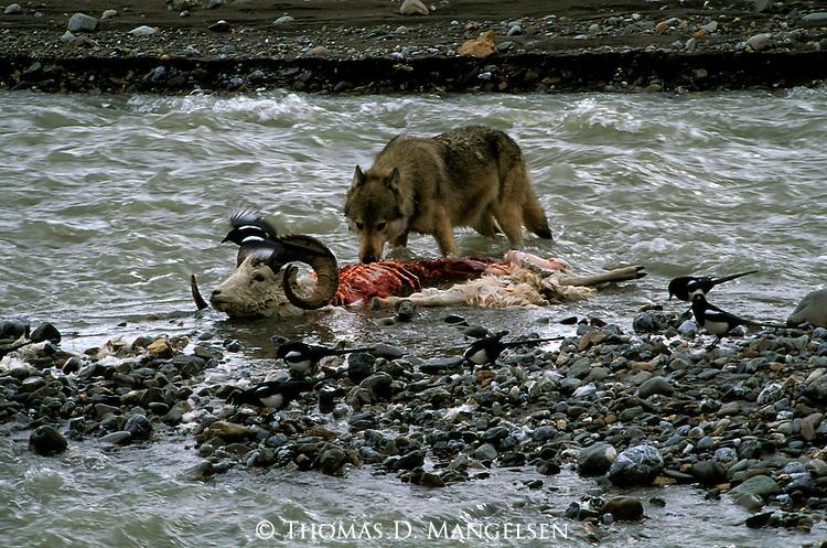 Gray Wolf (Canis lupus) Denali National Park, AK