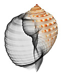 Blended x-ray image of a marginate tun shell (Tonna marginata, on white) by Jim Wehtje, specialist in x-ray art and design images.