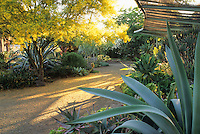 Agave weberi in succulent border. Bancroft Garden, Walnut Creek, California