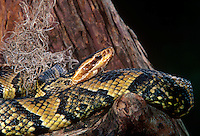 414484007 a captive cottonmouth moccasin agkistrodon piscivorous lays coiled on a tree stump - species is native to the southeastern united states