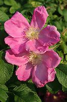 Two Pink Rugosa Roses  #F27