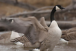A wintering canada goose stretches its wing along Blue Creek.  Nebraska Sandhills.
