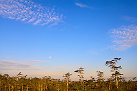 Moonrise over a Cypress forest in Everglades National Park, Florida, one day before a full moon.