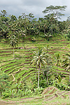 Bali, Indonesia; terraced rice fields in morning light