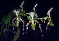 Paphiopedilum parishii orchid species, multifloral. Rare, endangered. Native to China, Myanmar, Thailand
