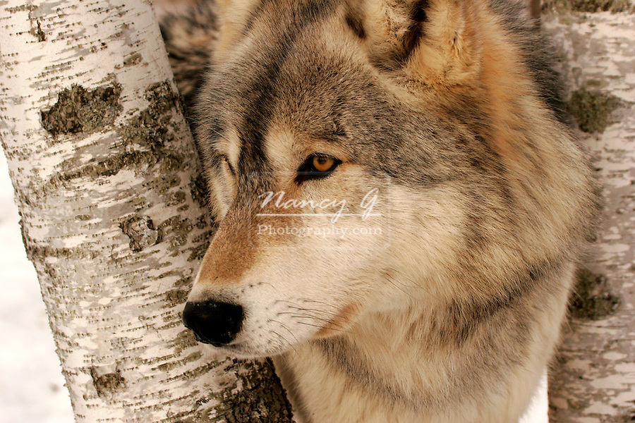 Timber wolf in northern minnesota
