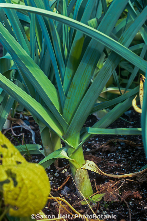 Allium porrum 'King Richard, Leek in vegetable garden