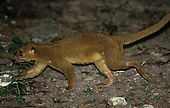 Kinkajou (Potos flavus), Central and South America.