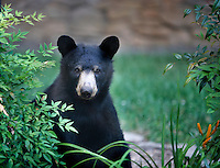 Black Bear sitting in the garden in Asheville, North Carolina among the daylilies