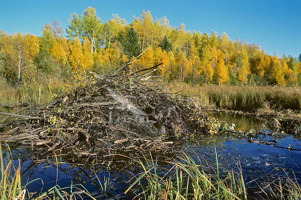 North American Beaver  (Castor canadensis) working on lodge.  Fall.