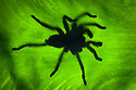 Huge earth tiger tarantula (probably Cyriopagopus sp.) silhoutted on Giant Elephant Ear Plant leaf {Alocasia sp.}, Maliau Basin, Sabah, Borneo, Malaysia.
