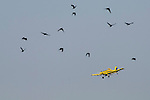 Air Tractor AT-502B flying over field with crows, late winter. near Madison, California