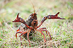 Columbia Ranch, Brazoria County, Damon, Texas; a large, red crawfish walking across a field of grass, carrying eggs under it's tail, rises up in a defensive position