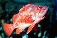 vermilion rockfish (c), .Sebastes miniatus, .eastern Pacific Ocean.