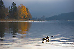 Idaho, Coeur d' Alene. Fall colors reflected in Lake Coeur d'Alene with geese and Coeur d' Alene Resort distant.
