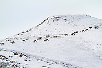 Caribou traverse the snow covered foothills of the Brooks mountain range, arctic, Alaska.