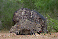 650520324 wild javelinas or collared peccaries dicolytes tajacu forage near a waterhole on santa clara ranch in starr county rio grande valley texas united states