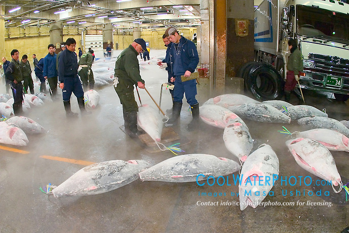 frozen tunas, Thunnus sp., getting weighed for auction, Tsukiji Fish Market or Tokyo Metropolitan Central Whalesale Market, the world's largest fish market  hadling over 2500 tons and over 400 different kind of fresh sea food per day