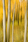 Abstract view of aspen trees during fall