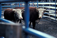 Two steers cattle cows in holding pen of Lancaster livestock auction