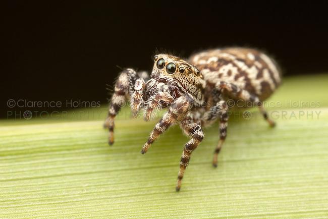 Peppered Jumper (Pelegrina galathea) - Female, Ward Pound Ridge Reservation, Cross River, Westchester County, New York