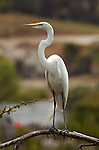 Great Egret Portrait perched