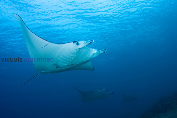 Manta Ray (Manta birostris) with a Remora on its fin, Komodo, Indonesia.