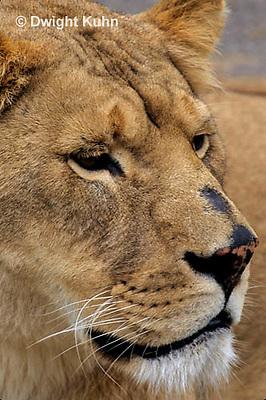 MA39-011z  African Lion - Panthera leo