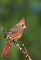 511650093v a wild female northern cardinal cardinalis cardinalis perches on a blooming ocotillo plant foqueria splendens in southern arizona united states