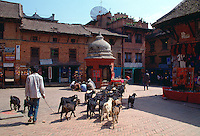 Nepalese goatherd leading his goats through the town of Bhaktapur, Nepal.  The large satellite dish on the roof makes a contrast of old and new with the traditional dwellings and other buildings.