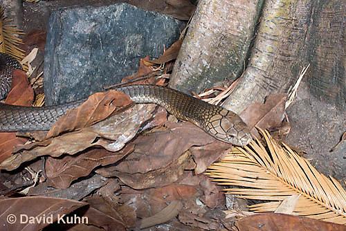 0503-1106  King Cobra (India, Largest Venomous Snake in the World), Ophiophagus hannah  © David Kuhn/Dwight Kuhn Photography