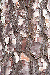 Close up of Pine Tree Bark, Sierra de Andujar Natural Park, Sierra Morena, Andalucia, Spain