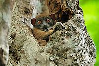 Ankarana Sportive Lemur (Lepilemur ankaranensis), female with baby in tree, Ankarana National Park, Northern Madagascar
