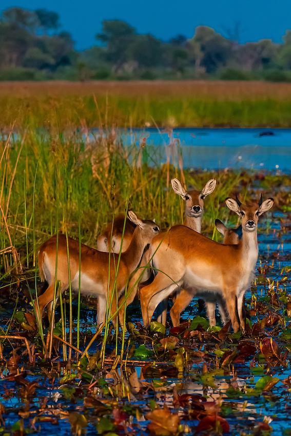 Botswana-Wildlife-Antelopes-Red Lechwe