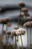 Close-up of a Coast Buckwheat flower with others in the soft background in vertical/portrait orentation.