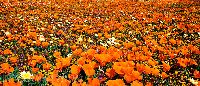 906500005 panoramic of field of flowers california poppies eschscholtzia californica and desert dandelion malacothrix glabrata lancaster poppy preserve antelope valley california