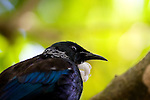 """Tui, photographed on Tiritiri Matangi. Tui - known in English as the """"Parson Bird"""" because of its white ruff. Spotted this on in a tree while on Tiri Tiri Matangi. They're quite plentiful on the island, and make lots of noise.They're clever birds, can can mimic lots of things - including humans and mobile phones - thank to their two voiceboxes! Some of the sounds they make are inaudable to humans - they're outside our spectrum of hearing. They're also quite agressive - I did see them involved in many tussles with each other as well as other species of birds on Tiritiri."""