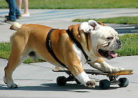 "Tyson, a 4 year old bulldog, rides his skateboard at the Venice Beach Skating Park during the ""Venice Skate Park  Pro/Am Contest and Go Skating Day"" on Wednesday June 21, 2006. Tyson has been riding skateboards since the age of one. He is self taught. Tyson has been featured on Martha Stewart and many other TV shows. He is quite the celebrity!"