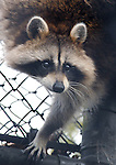 "A Raccoon, named ""Rosey Bear"" by it's keepers, climbs the wall of it's enclosure at the Town of Brookhaven Ecology and Wildlife Center in Holtsville Park, Holtsville, NY on November 13, 2007. Photo by Jim Peppler. Copyright Jim Peppler/2007."