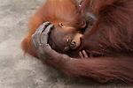 Bornean Orangutan (Pongo pygmaeus wurmbii) - juvenile playing with mother.