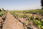 Chile Wine Country: Vineyards at Concha y Toro Winery, Viina Concha y Toro, near Santiago..Photo #: ch461-33786.Photo copyright Lee Foster, 510-549-2202, www.fostertravel.com, lee@fostertravel.com.